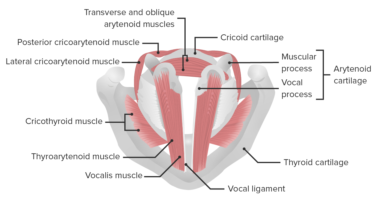 Head and Neck Larynx and Epiglottis
