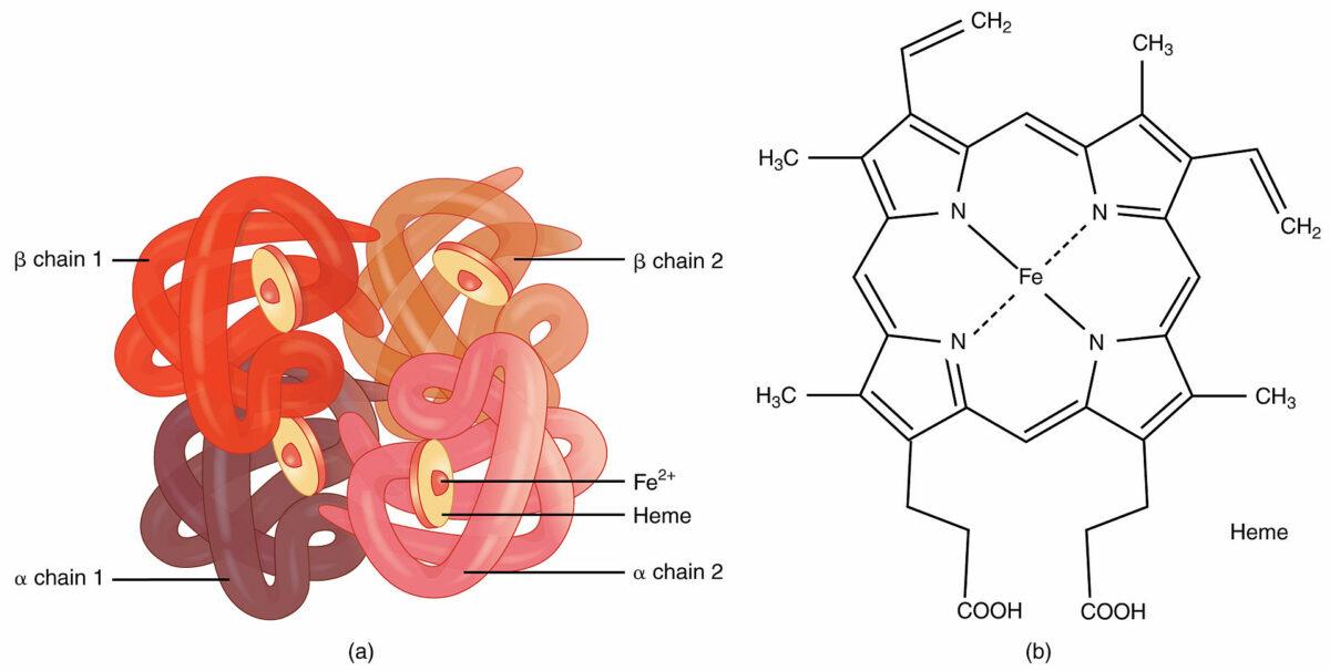 Hemoglobin an example of quaternary structure