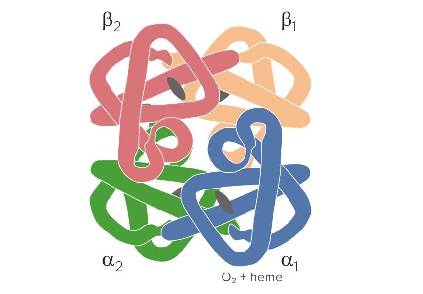 Hemoglobin structure