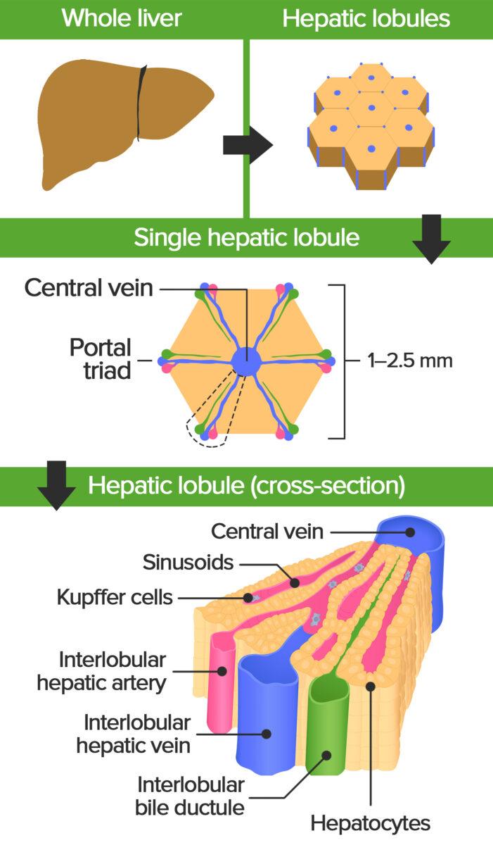 Hepatic lobule illustration