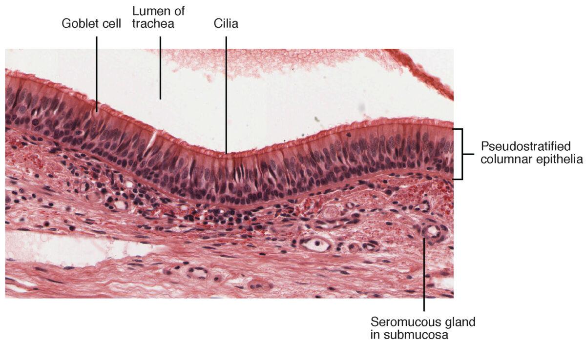 Histologic layers of tracheal lumen Trachea