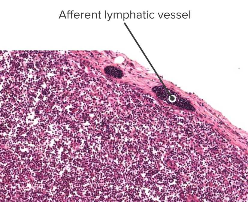 Histologic section of a lymph node showing an afferent vessel