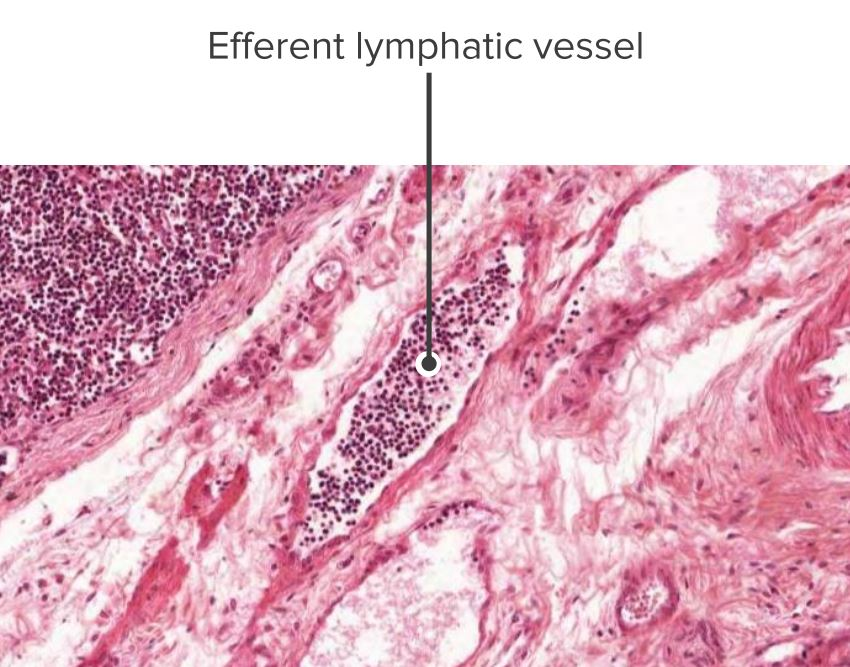 Histologic section of a lymph node showing an efferent vessel