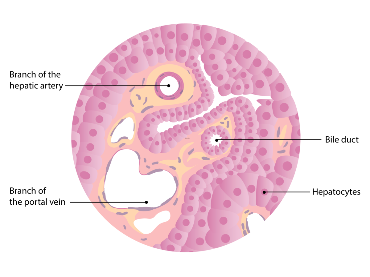 Histology of the liver