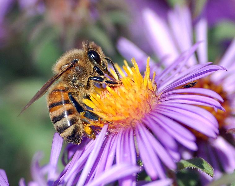 Honey bee extracting nectar