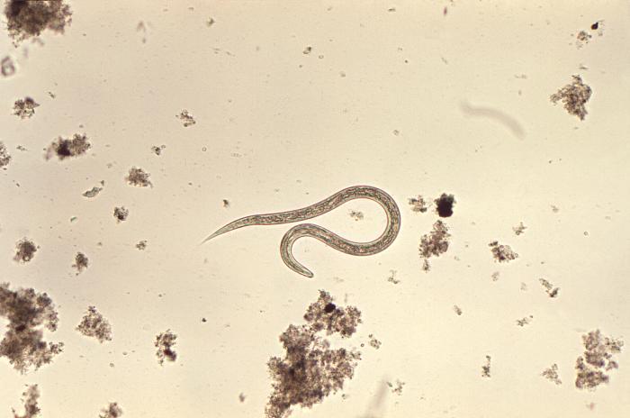 Hookworm filariform larva