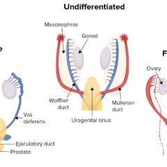 Human sex differentiation