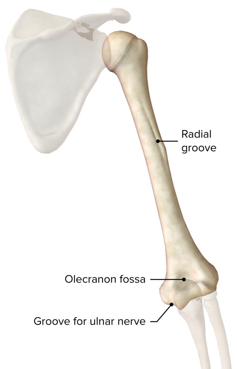 Humerus posterior view