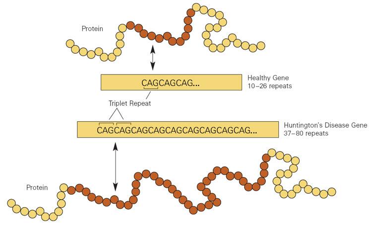 Huntington disease genetics