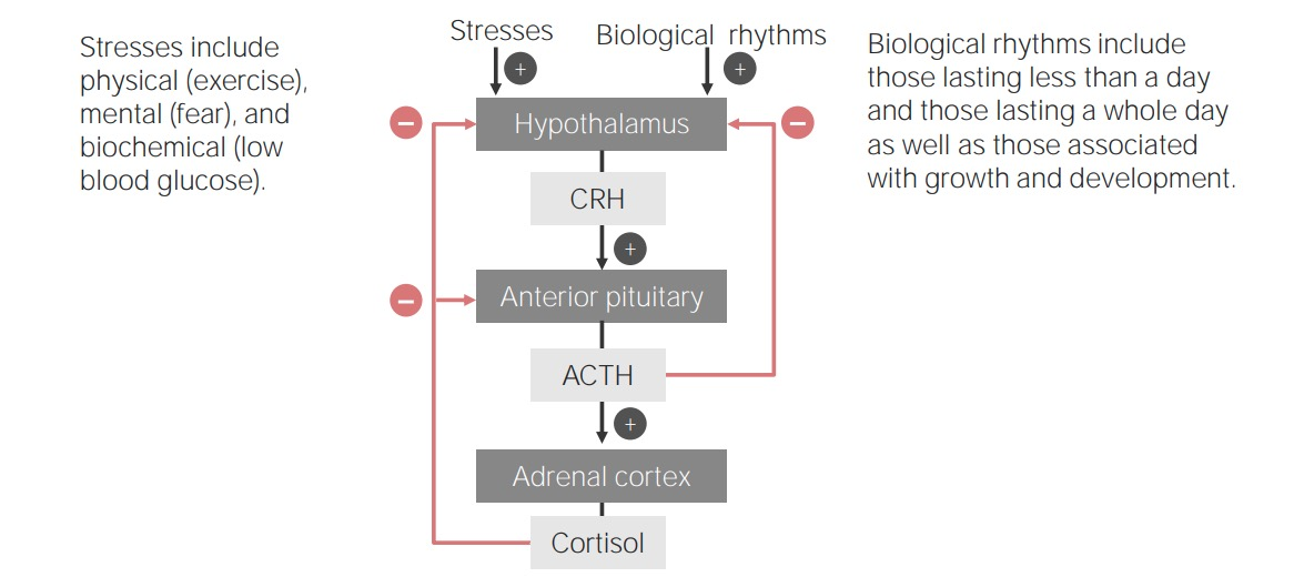 Hypothalamic-Pituitary-Adrenal Cortex Axis