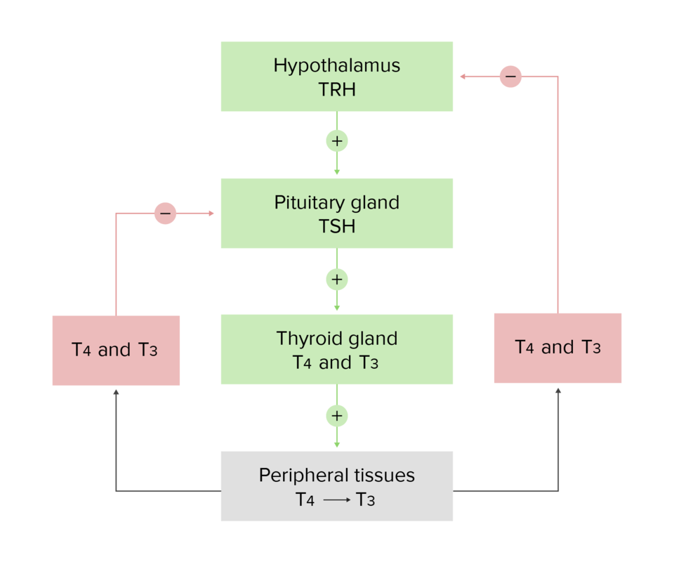 Hypothalamic-Pituitary-Thyroid Axis