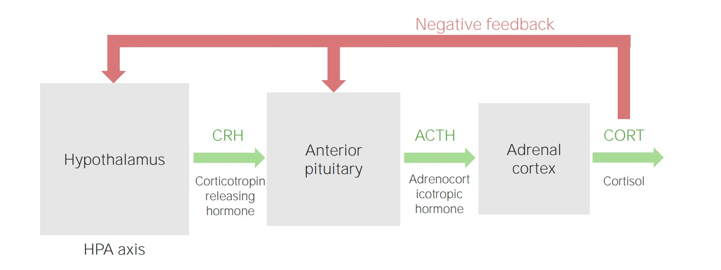 Hypothalamic–pituitary–adrenal cortex axis