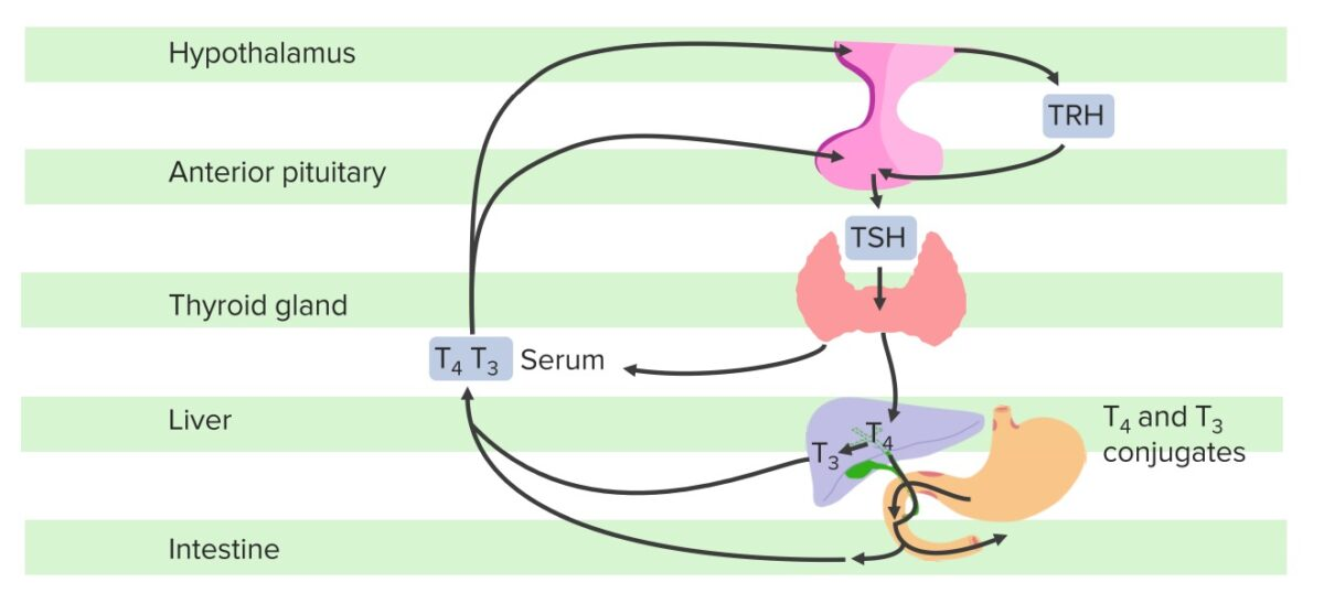 Hypothalamic–pituitary–thyroid axis