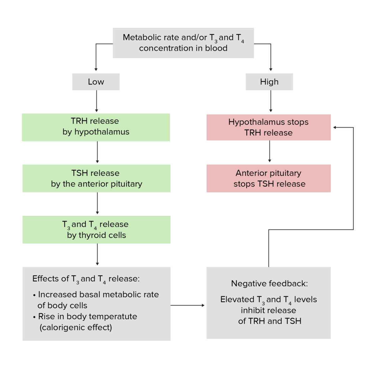 Hypothalamic–pituitary–thyroid axis feedback loop