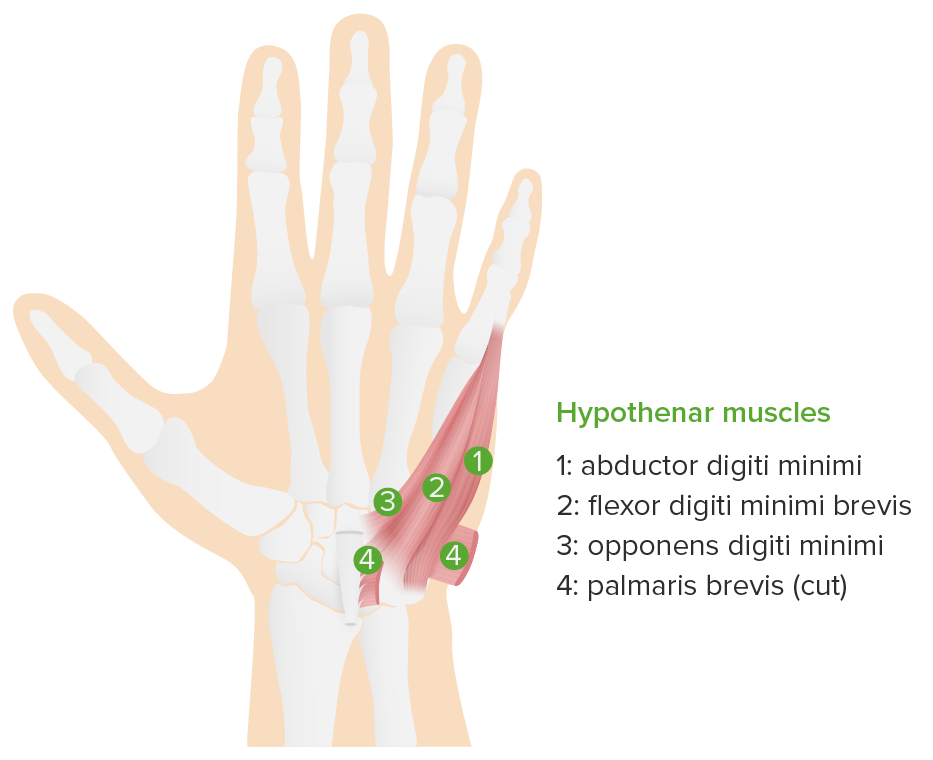 Hypothenar muscles hand