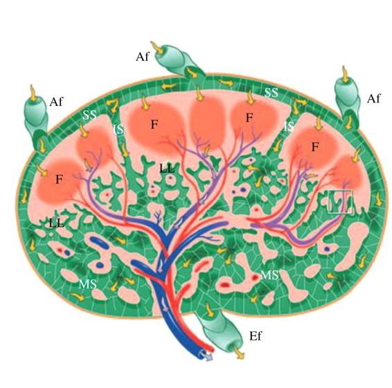 Lymph node cross section