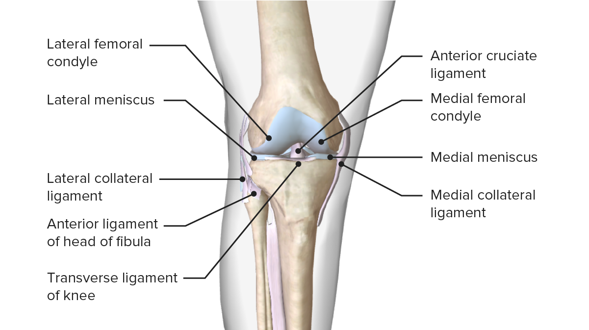Image displaying the menisci and their relation with other articular surfaces that compose the knee joint