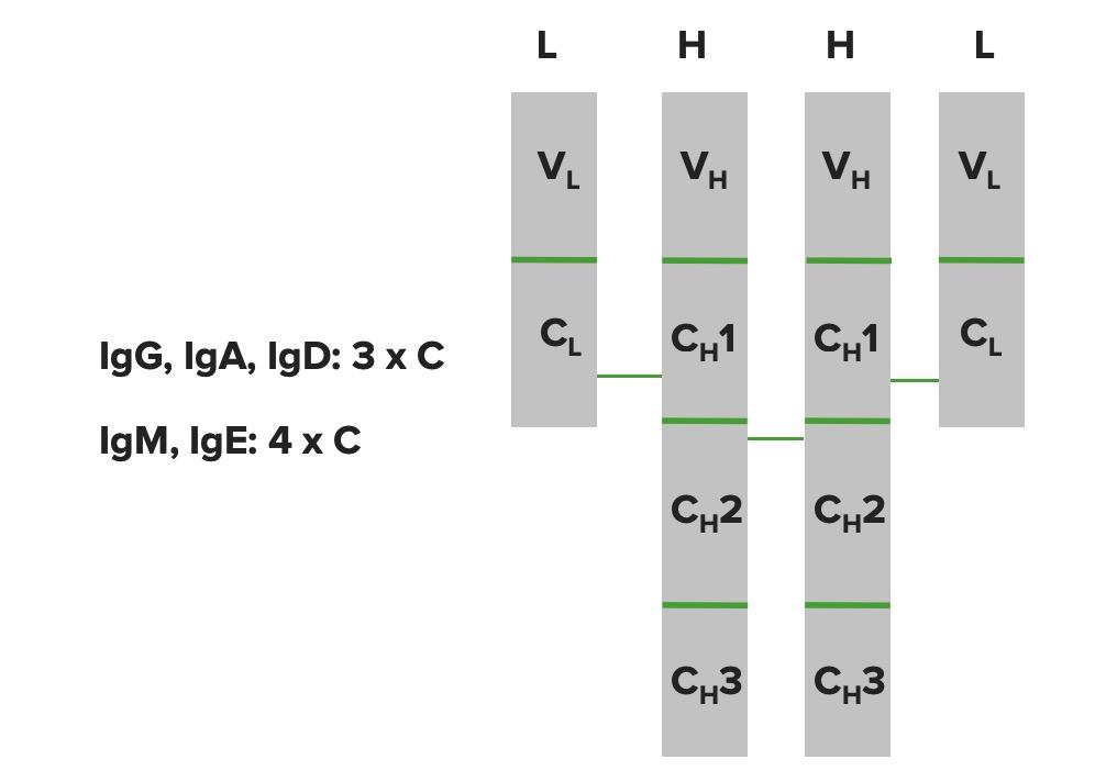 Immunoglobulin domains