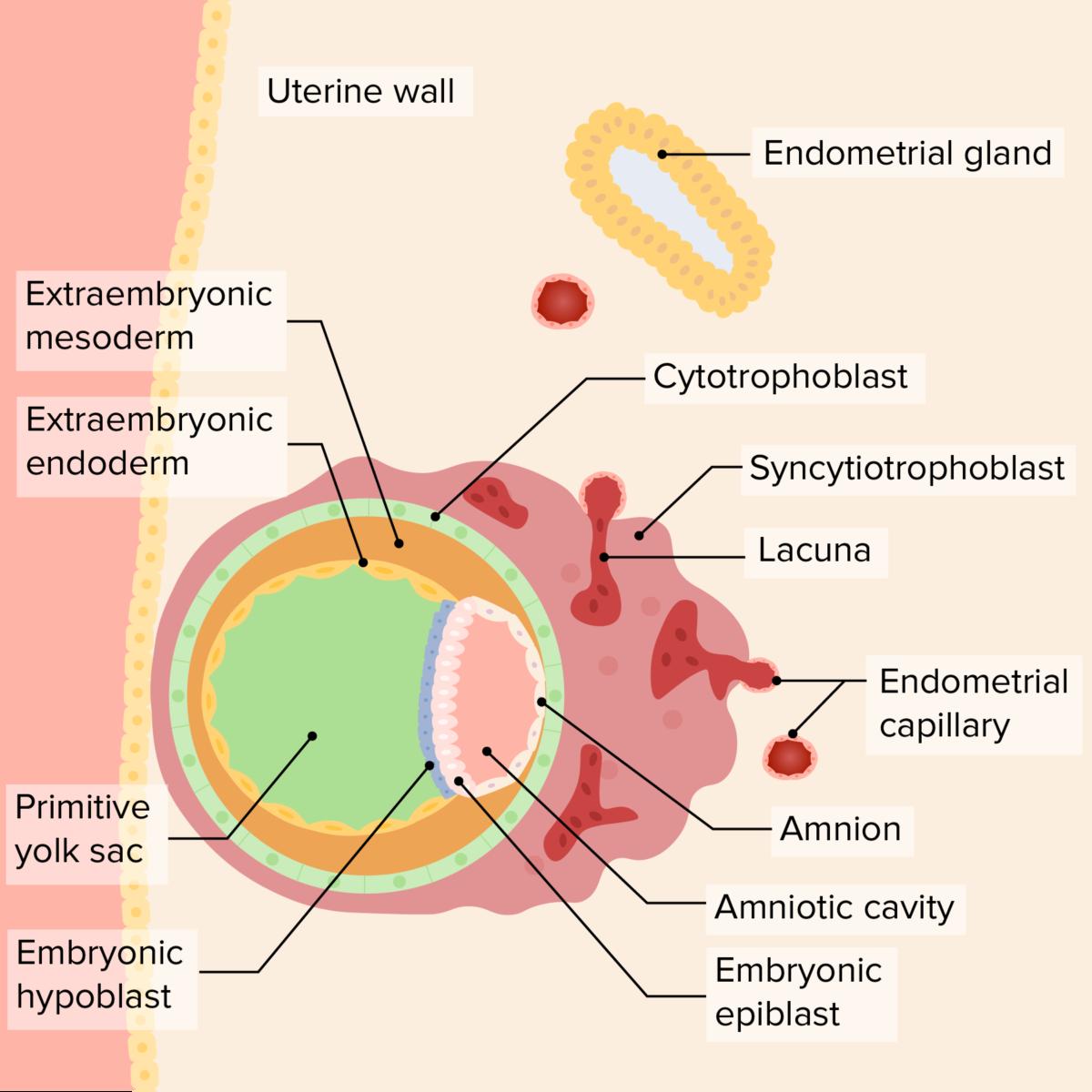 Implanted blastocyst