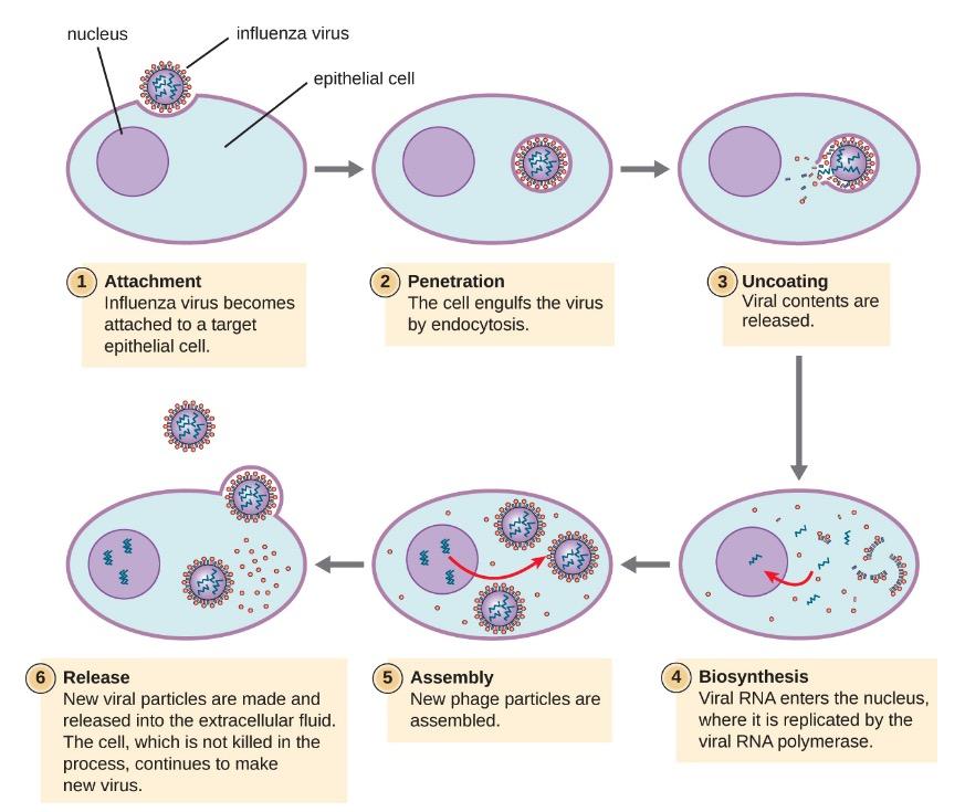 Infleunza virus life cycle