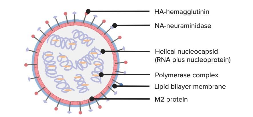 Influenza virus structure