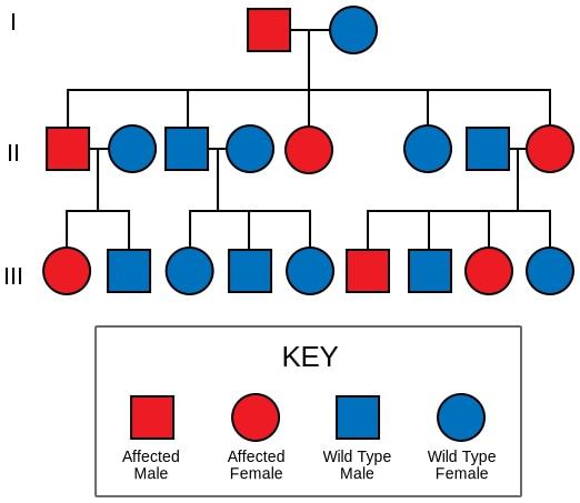 Inheritance of Liddle syndrome