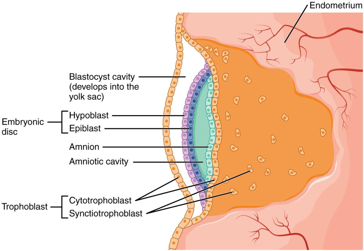 Initial development of the amniotic cavity