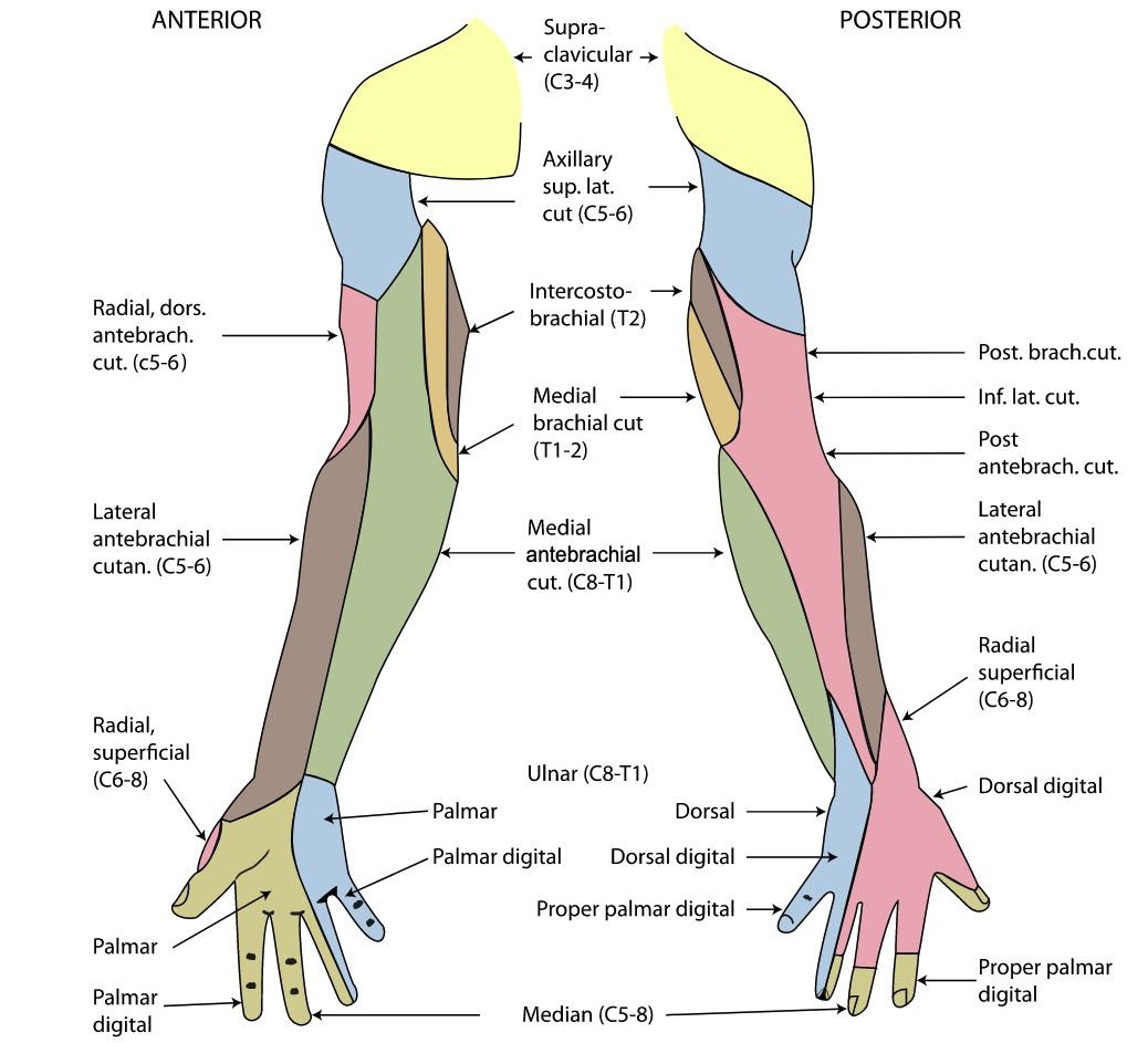 Innervation of the forearm with colors