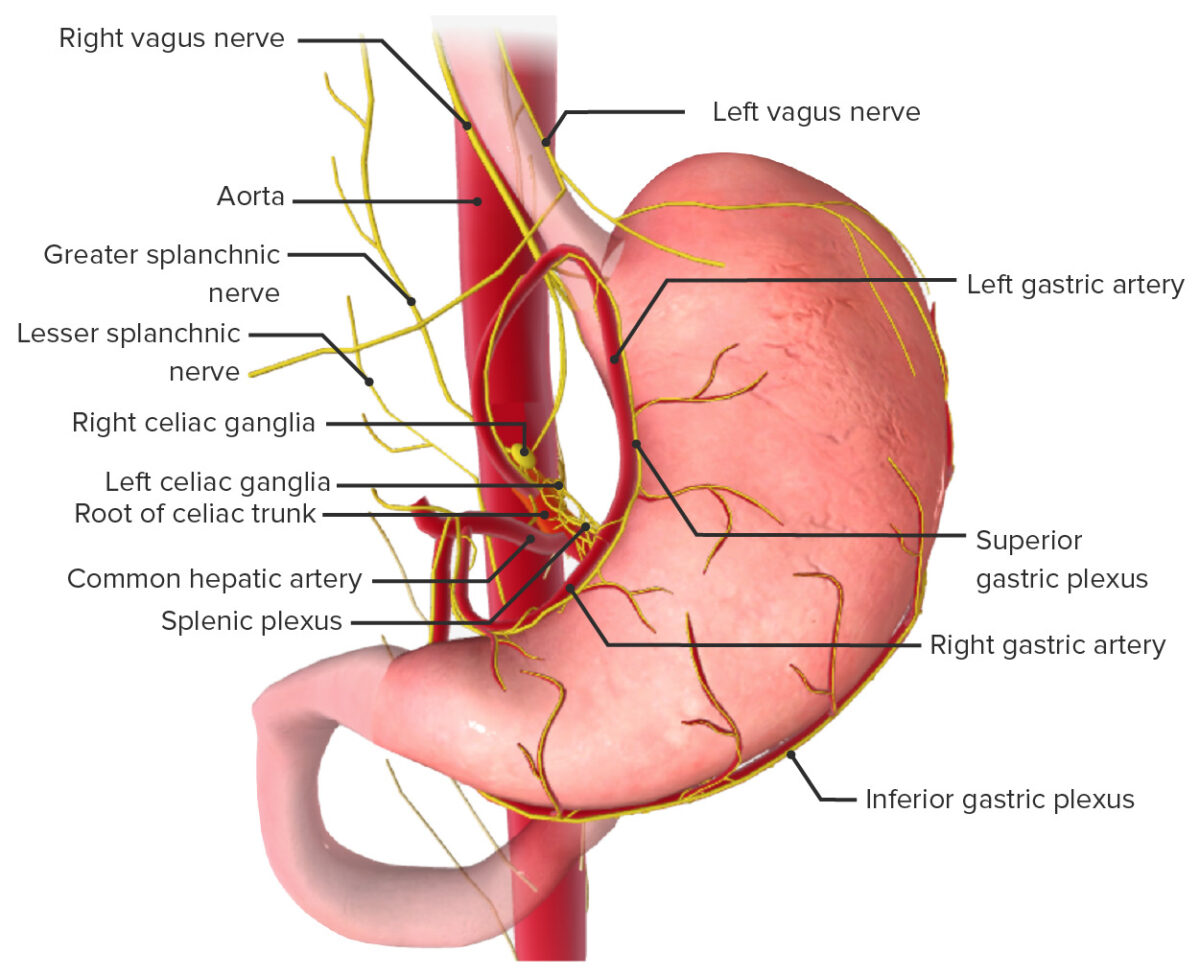 Innervation of the stomach