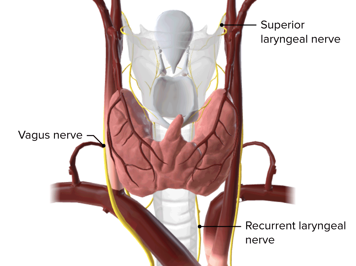 Innervation of the thyroid