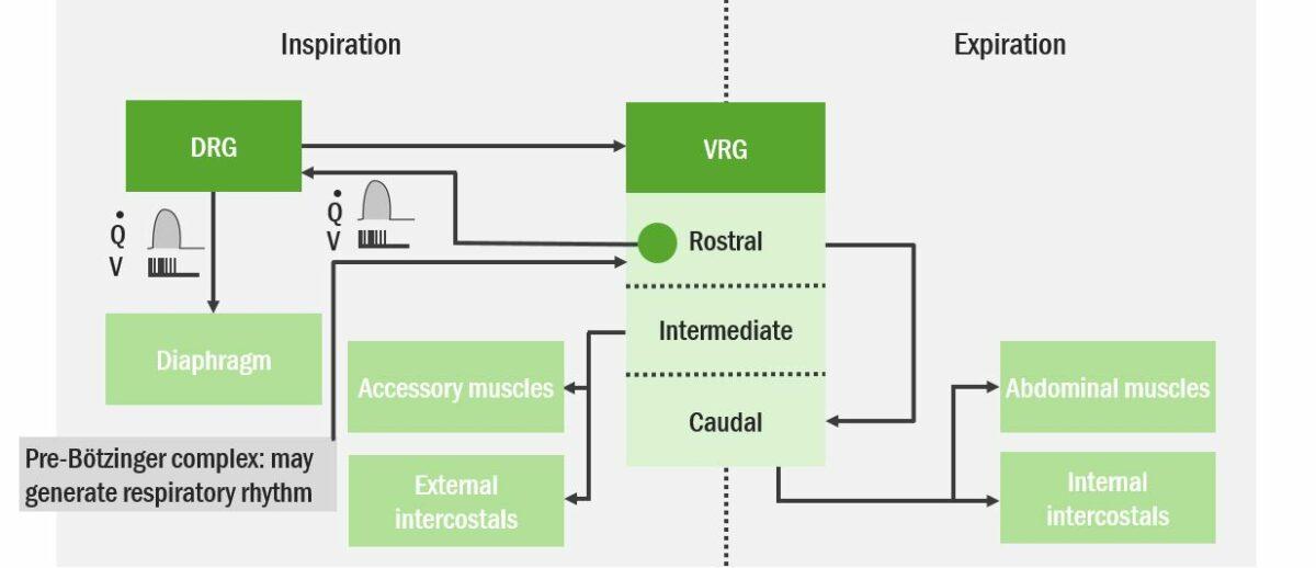 Integration of Inspiration and Expiration Respiratory Regulation