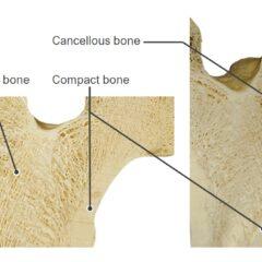Internal structure of a femur head structure of bones