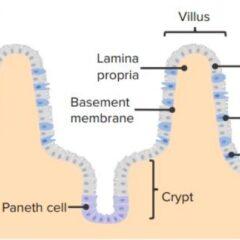 Intraepithelial lymphocytes