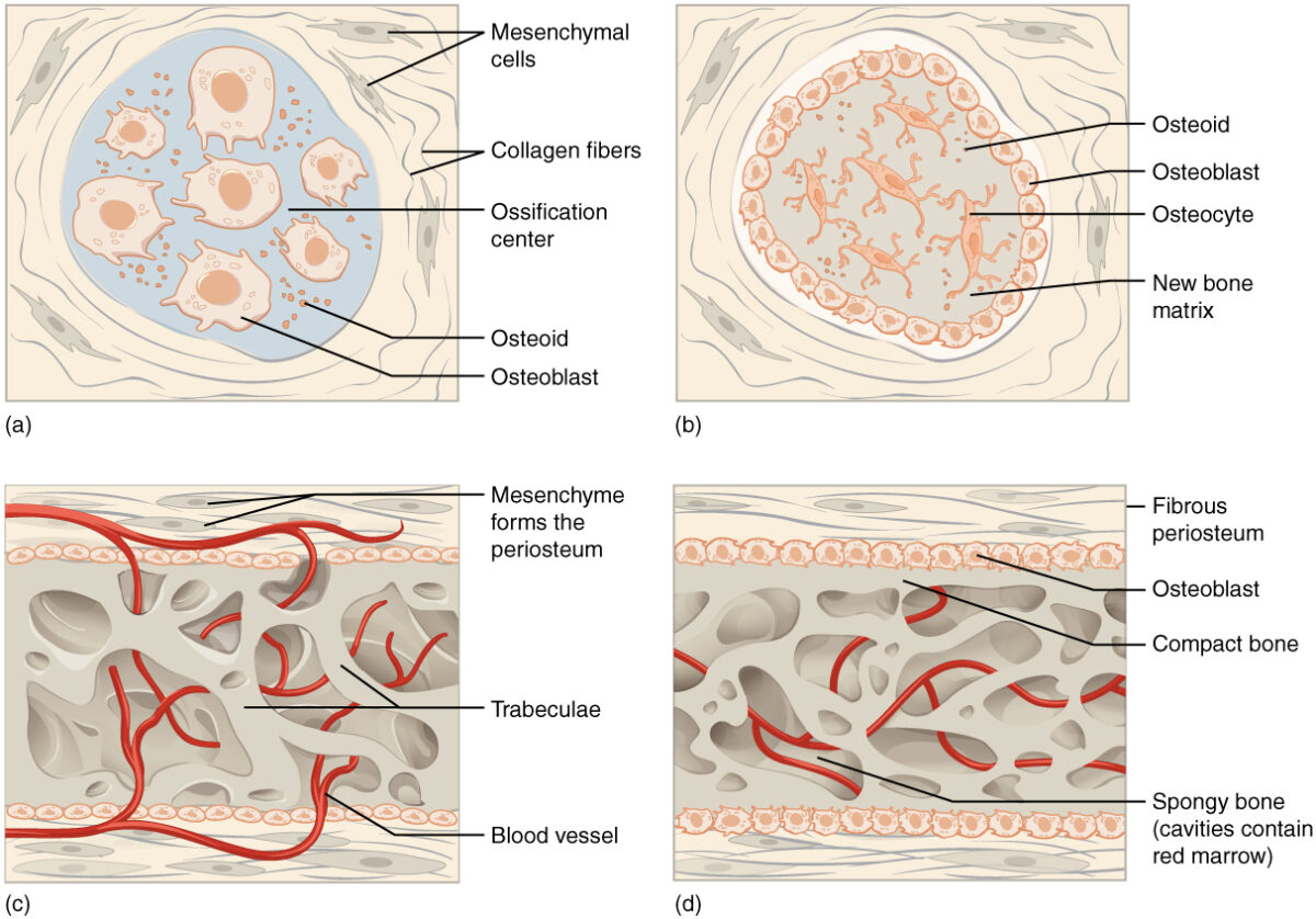 Intramembraneous_Ossification