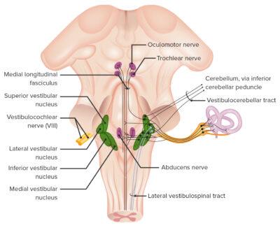 Intricate pathways of the vestibular system