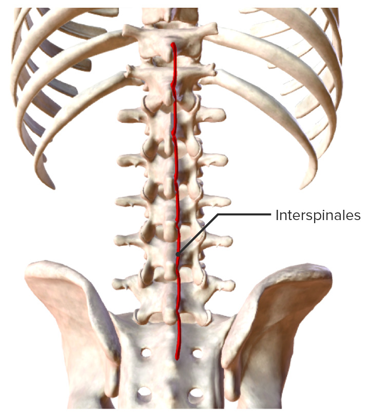 Intrinsic back muscles Interspinales muscle group