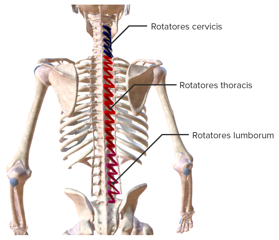 Intrinsic back muscles Rotatores muscle group Biodigital