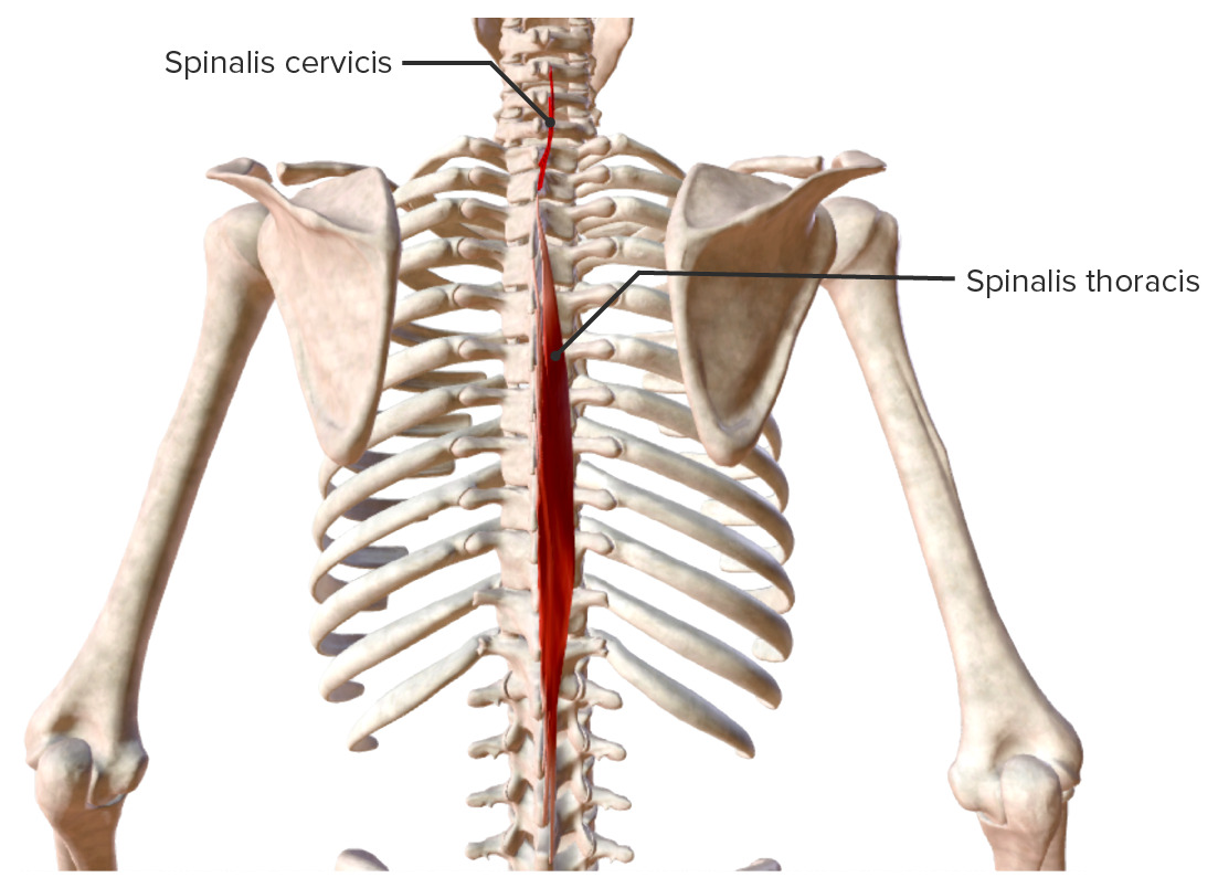 Intrinsic back muscles Spinalis muscle group Biodigital