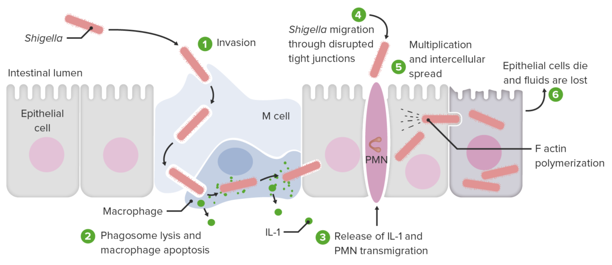 Invasion and cell-to-cell spread by Shigella