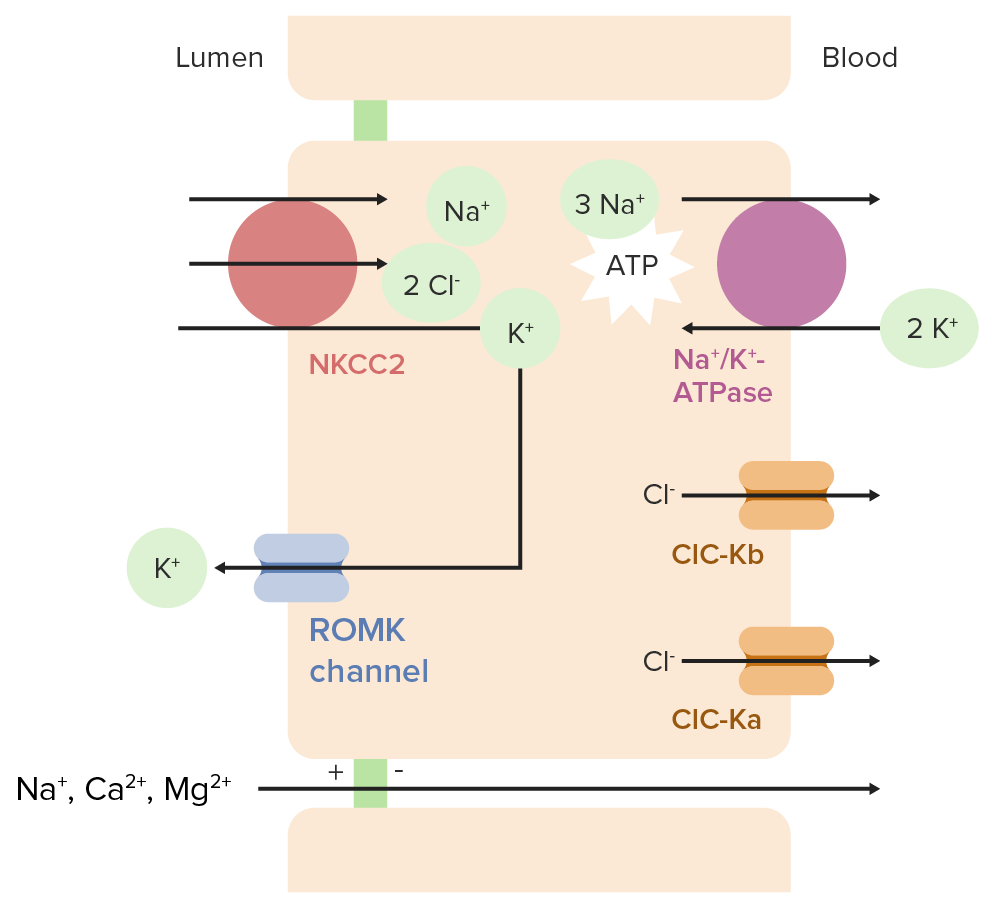 Ion transport in the thick ascending limb of the loop of Henle