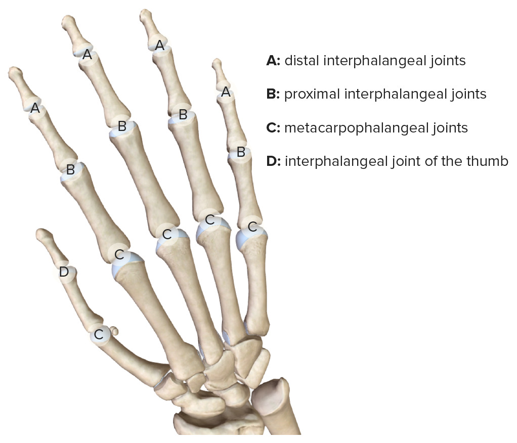 Joints of the digits