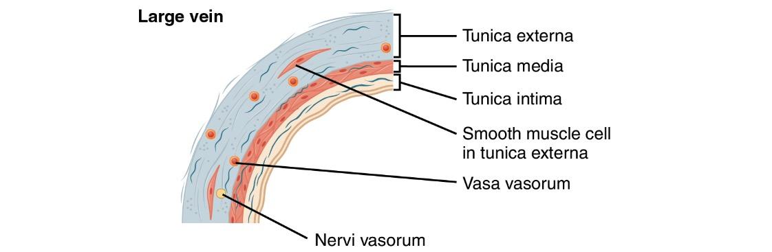 Large vein