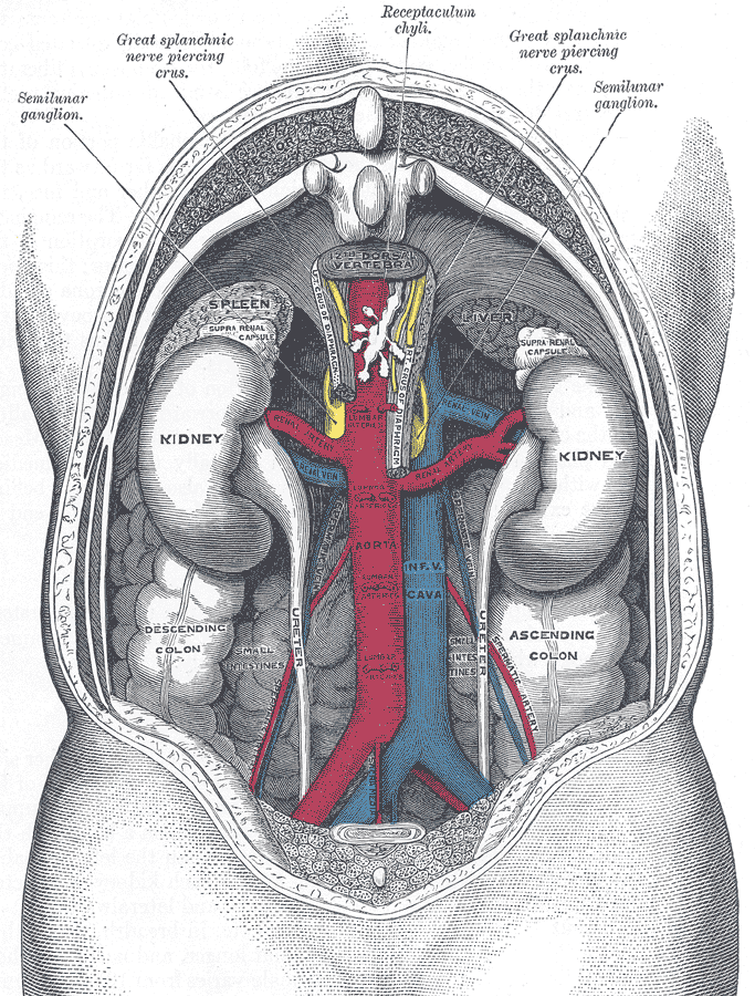Large vessels of the abdomen
