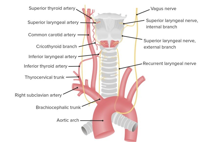 Larynx blood supply and innervation