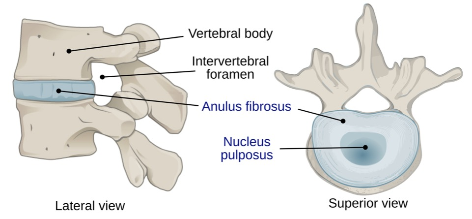 Views showing the components of the intervertebral disc