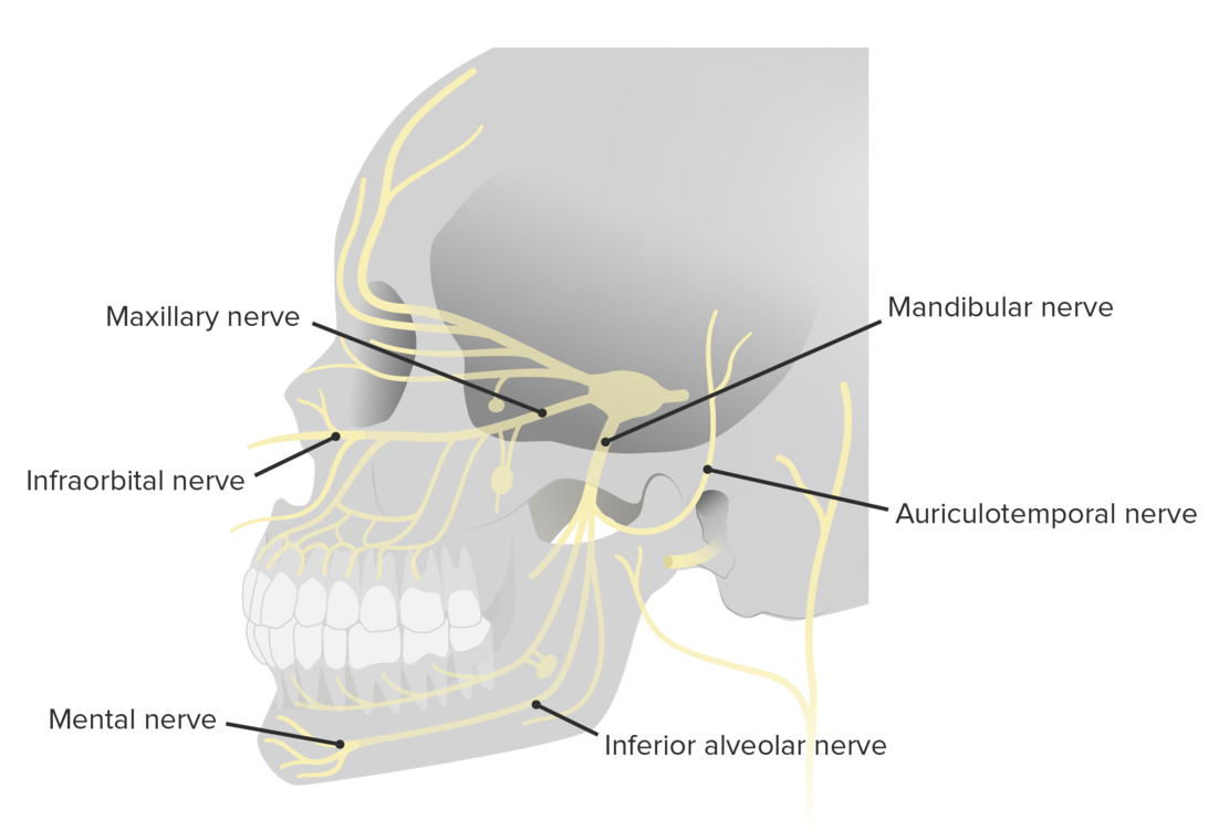 Lateral view of the branching pattern of the trigeminal nerve