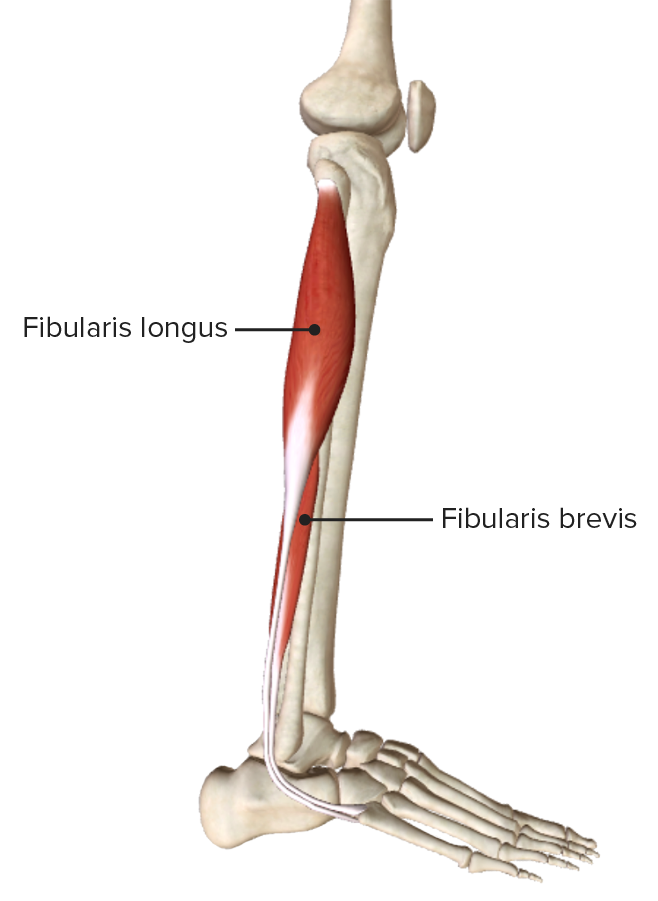 Lateral view of the leg