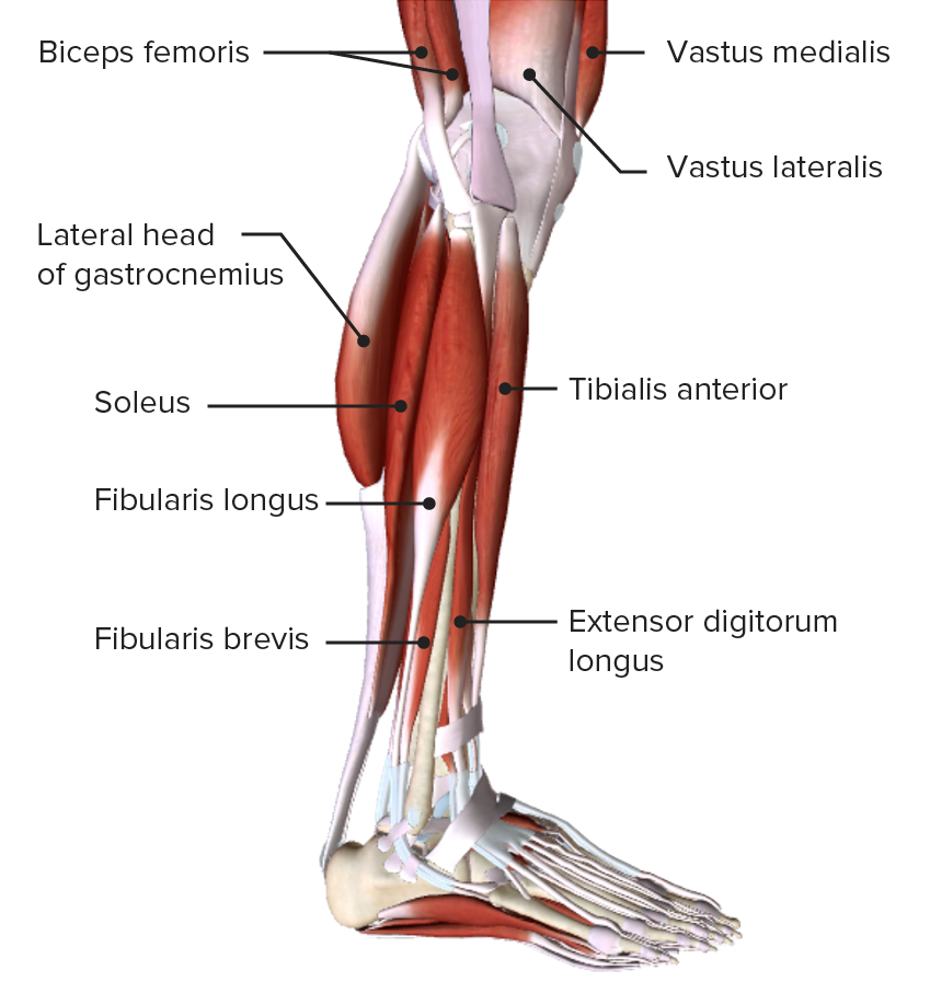 Lateral view of the leg featuring the muscles of the lateral or evertor compartment