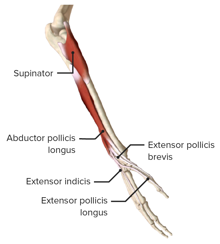 Lateral view of the right forearm