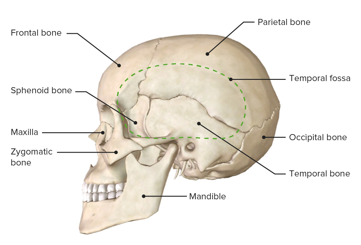 Lateral view of the skull
